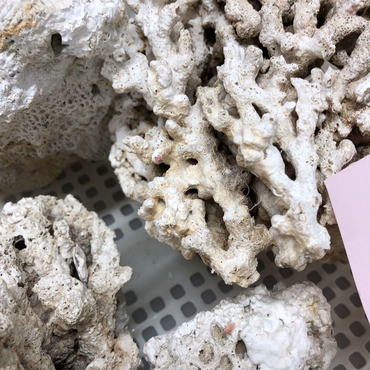 土台珊瑚 3,9キロ 天然_画像3