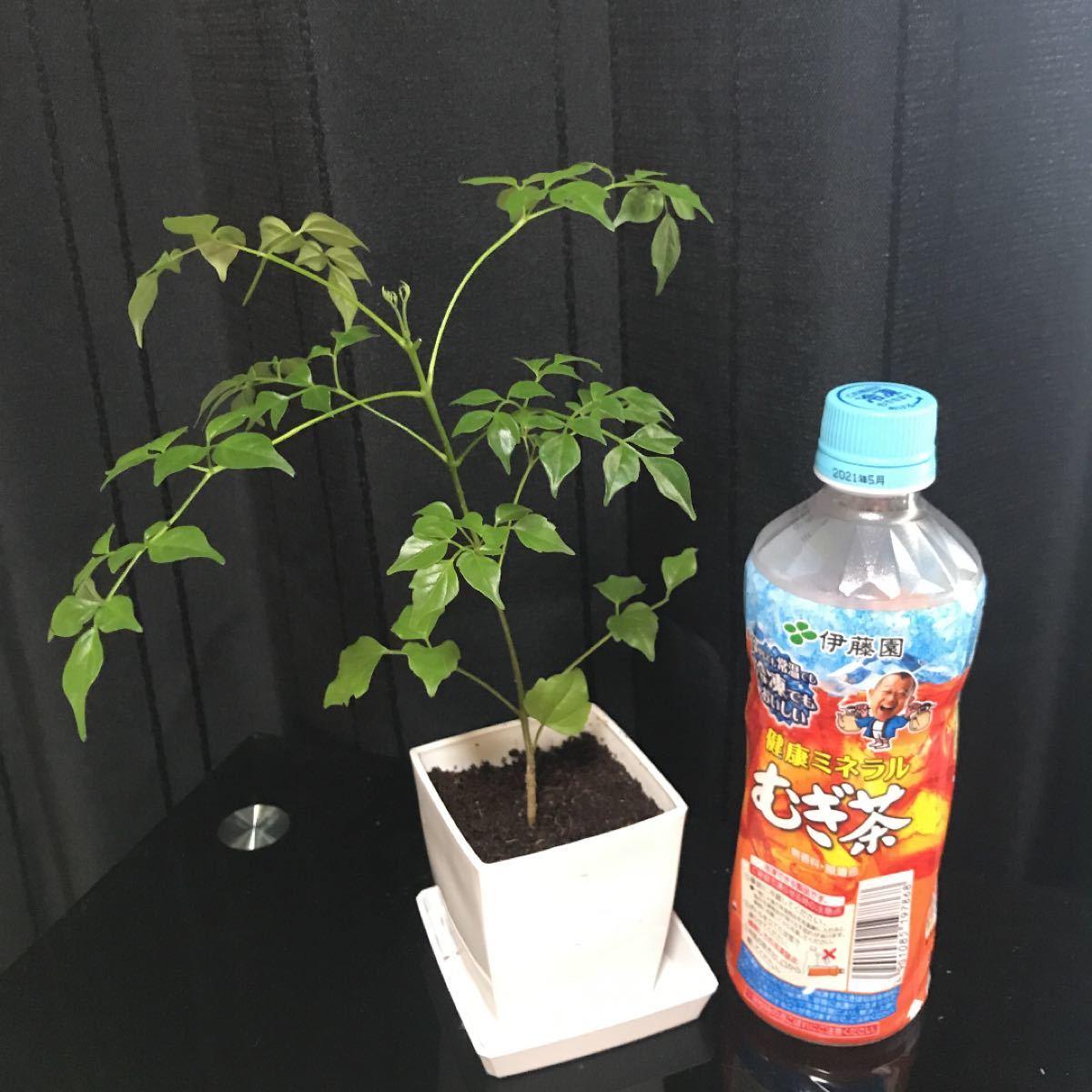 観葉植物 ステレオスペルマム 抜き苗