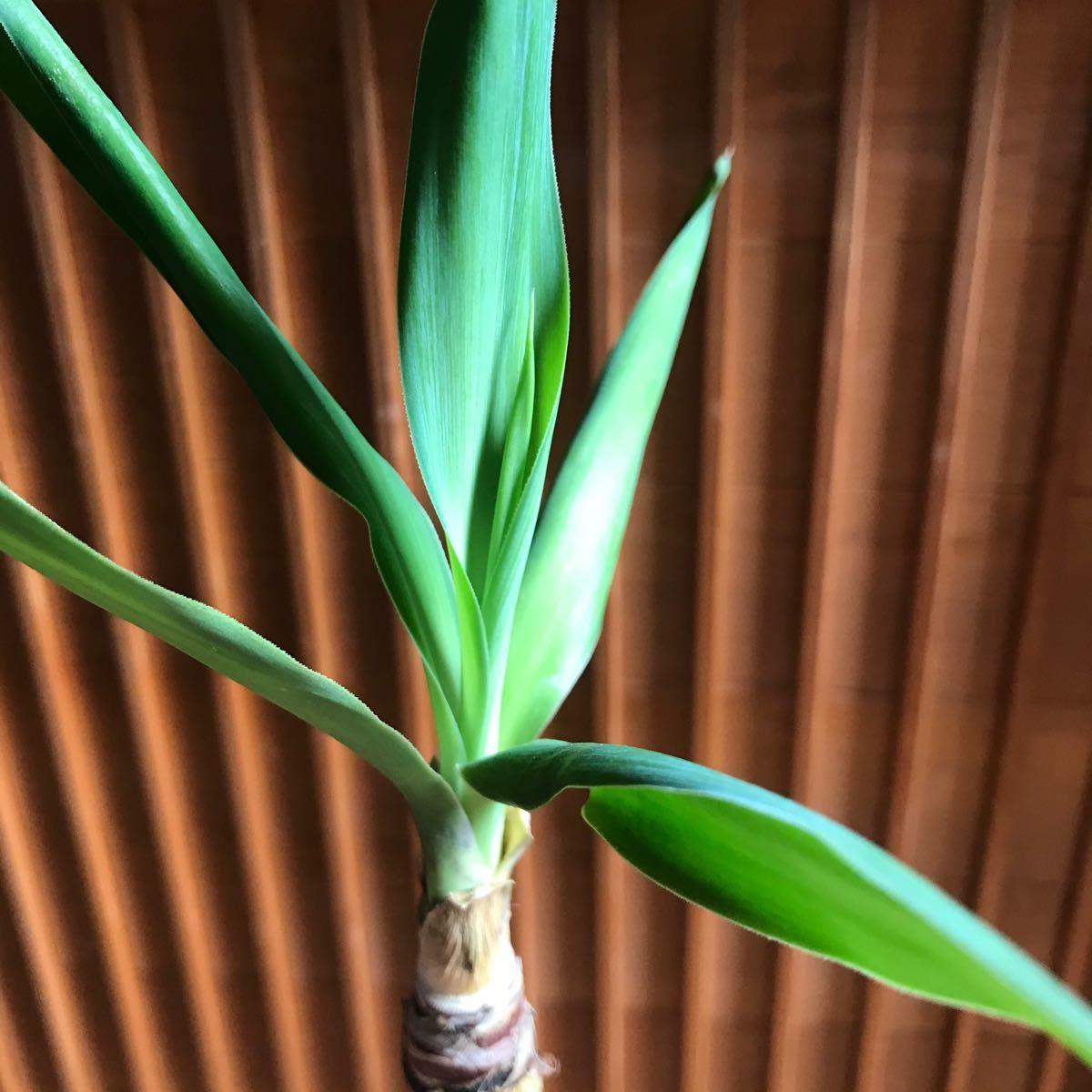 【観葉植物+土】ユッカ+赤玉土 青年の木リアルグリーン 初心者にも◎