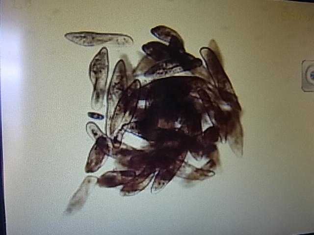 ゾウリムシ 800ml 送料無料 ゆうパケットおてがる版専用段ボールにて発送 メダカの針子、稚魚用_画像2