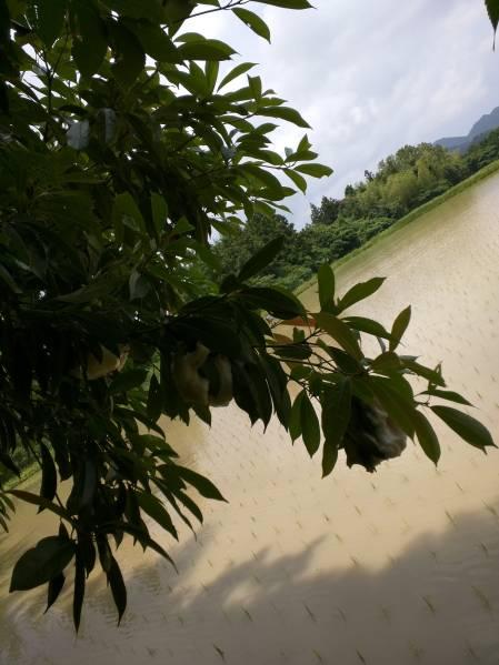 令和元年度山口県萩産コシヒカリ 玄米25kg  _珍しいモリアオガエルが生息しています。