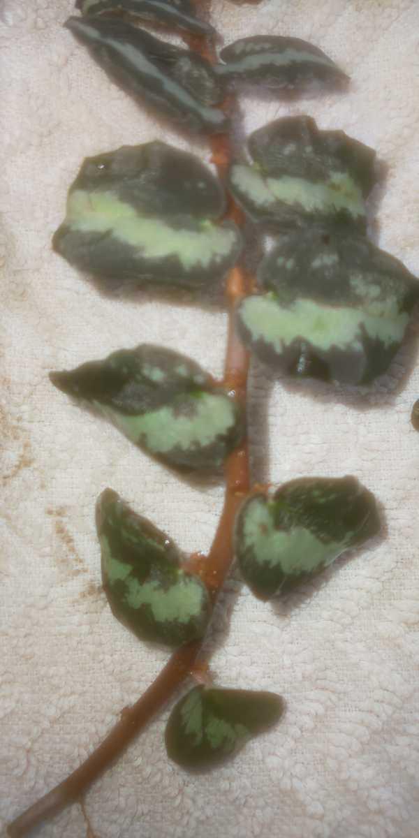 ペリオニア sp.BinhDinh wild株2個