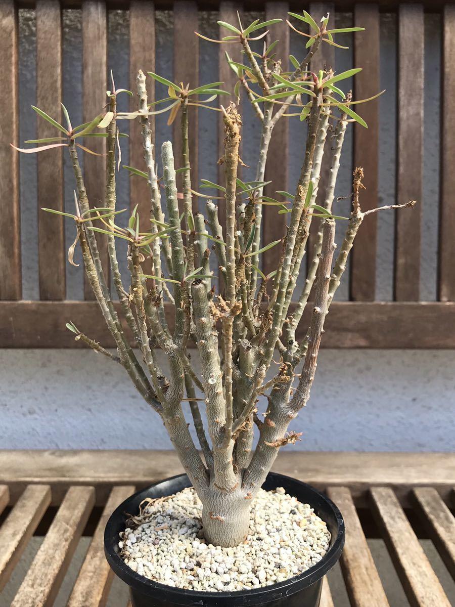 ユーフォルビア バルサミフェラ euphorbia balsamifera 多肉植物