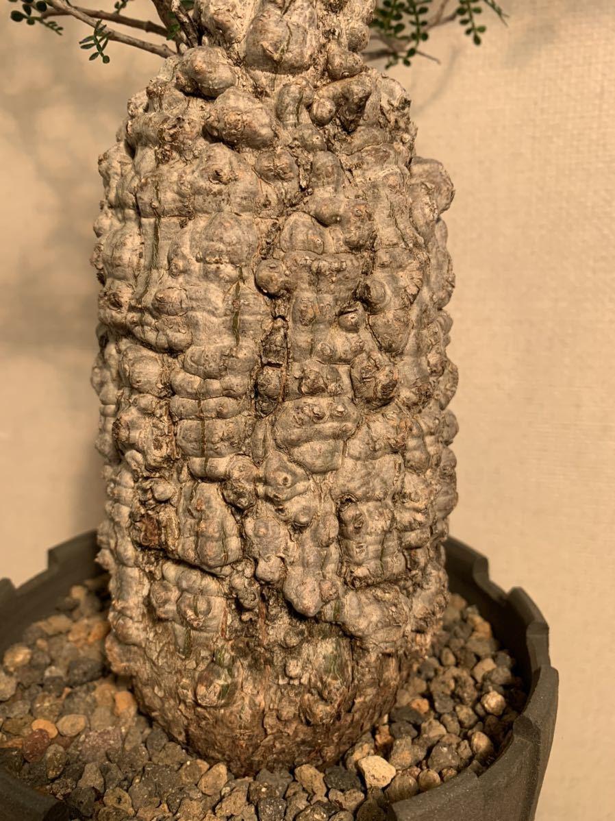 【発根済】良型オペルクリカリア パキプス 限定ST鉢付き コーデックス 塊根植物 検索:invisible_ink グラキリス コミフォラ _画像3