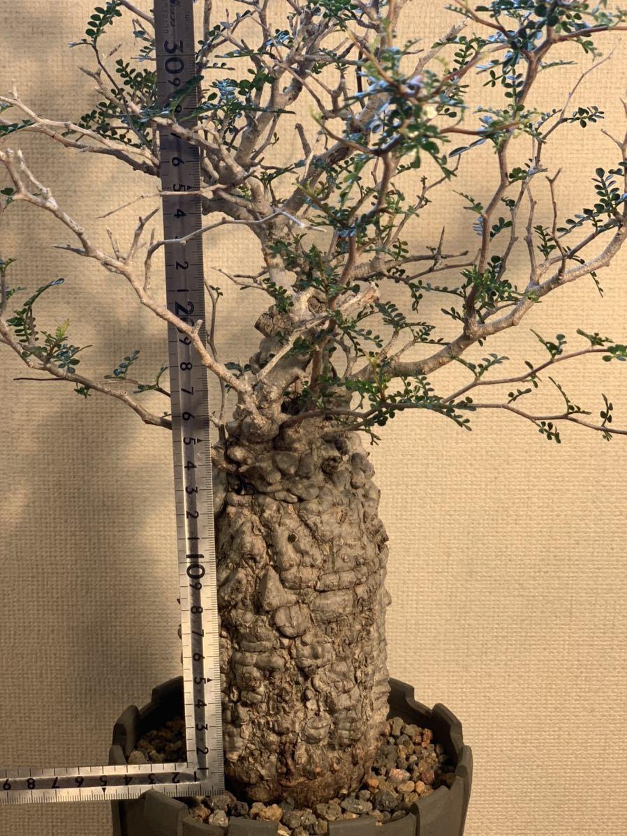 【発根済】良型オペルクリカリア パキプス 限定ST鉢付き コーデックス 塊根植物 検索:invisible_ink グラキリス コミフォラ _画像7