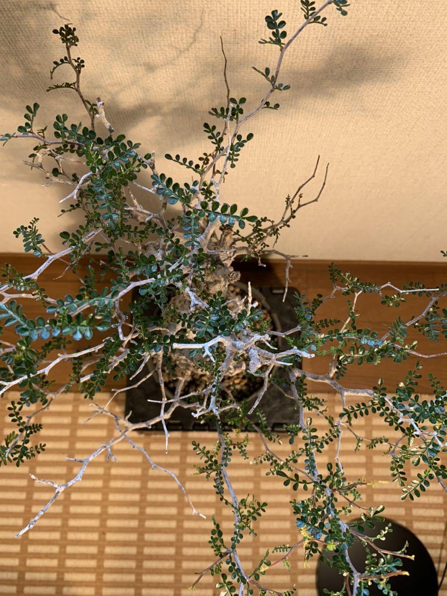 【発根済】良型オペルクリカリア パキプス 限定ST鉢付き コーデックス 塊根植物 検索:invisible_ink グラキリス コミフォラ _画像4