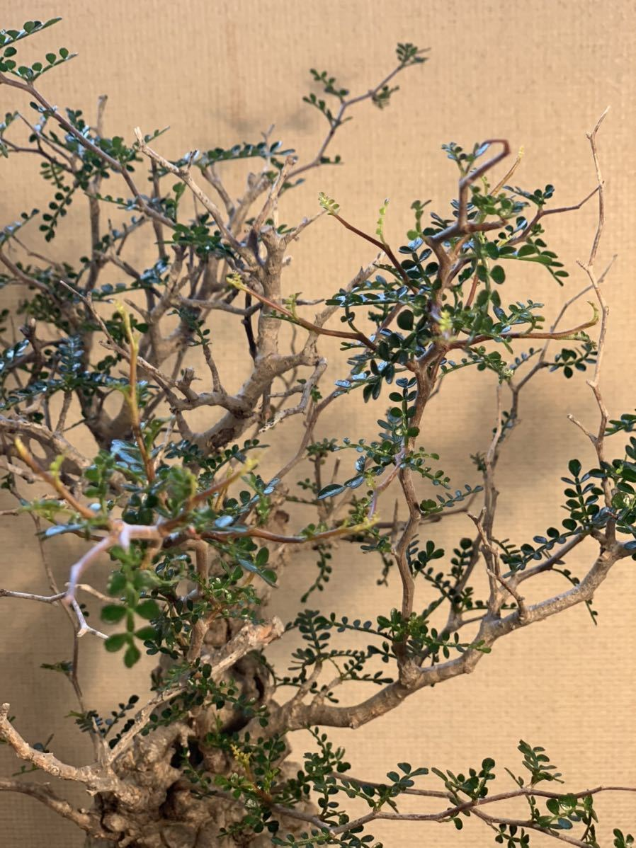 【発根済】良型オペルクリカリア パキプス 限定ST鉢付き コーデックス 塊根植物 検索:invisible_ink グラキリス コミフォラ _画像5