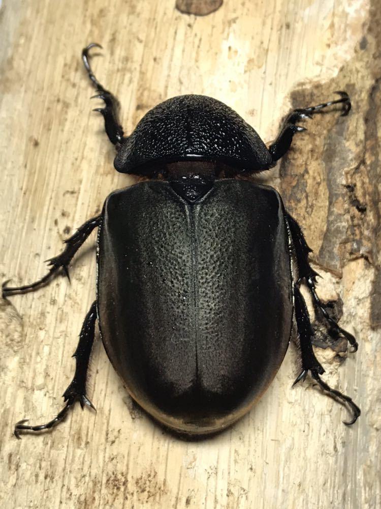 マレーコーカサスオオカブト♀62新成虫即ブリ可。