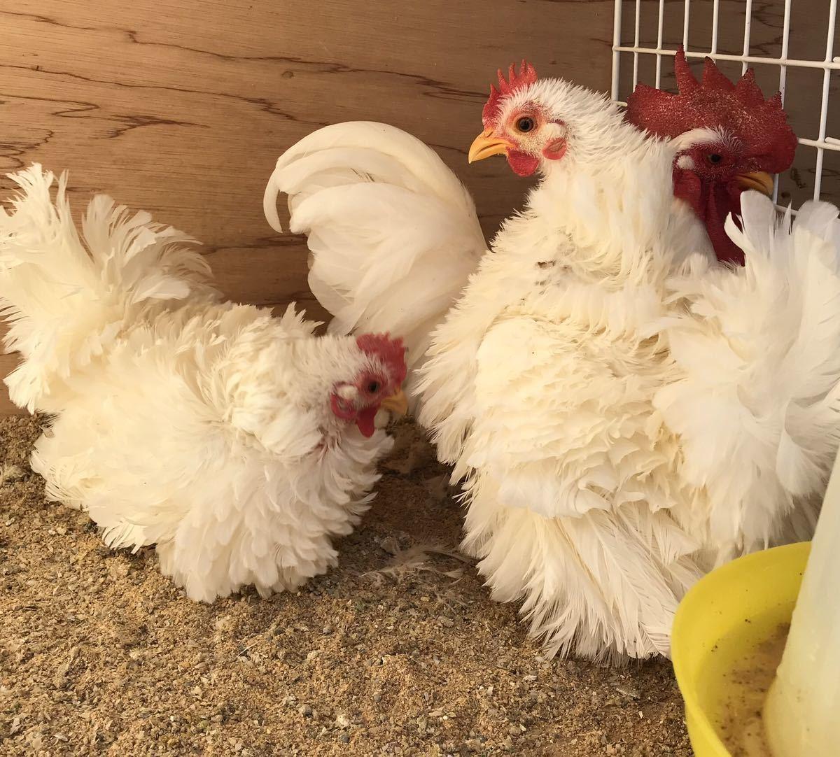 逆毛白矮鶏の種卵5個 有精卵_画像2