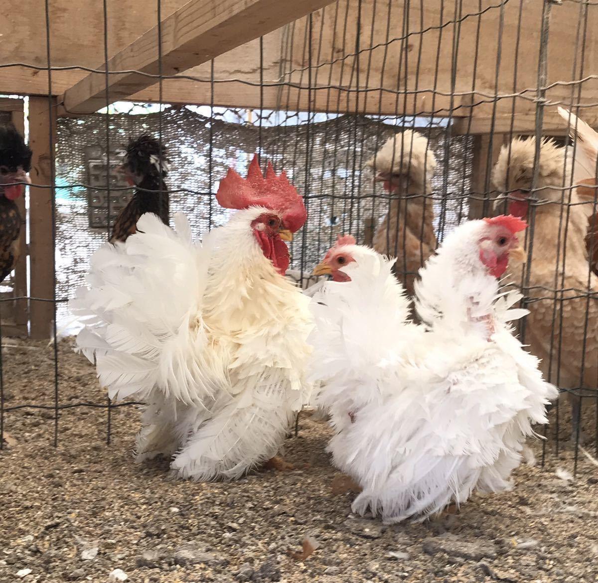 逆毛白矮鶏の種卵5個 有精卵_画像3