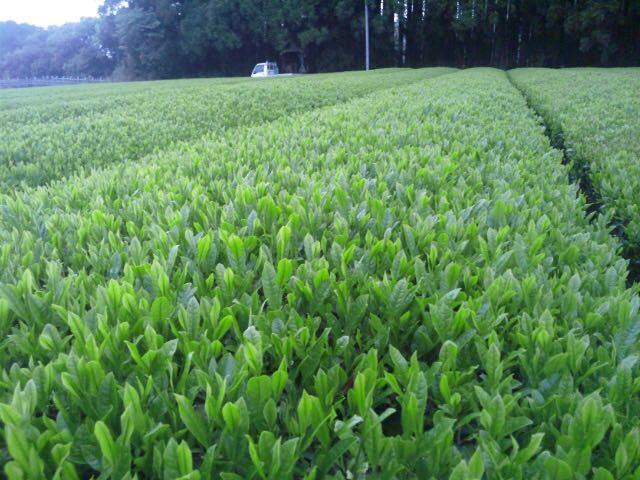 [新茶]あさぎり誉粉末茶90g3袋 粉末緑茶 生産者直売 無農薬・無化学肥料栽培 カテキンパワー 免疫力アップ シングルオリジン_画像8