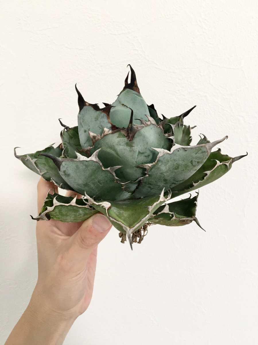 1スタ!【選抜美株】アガベ チタノタ 'ブラックアンドブルー' (Agave Titanota 'Black & Blue') 竜舌蘭 リュウゼツラン 多肉植物 B6