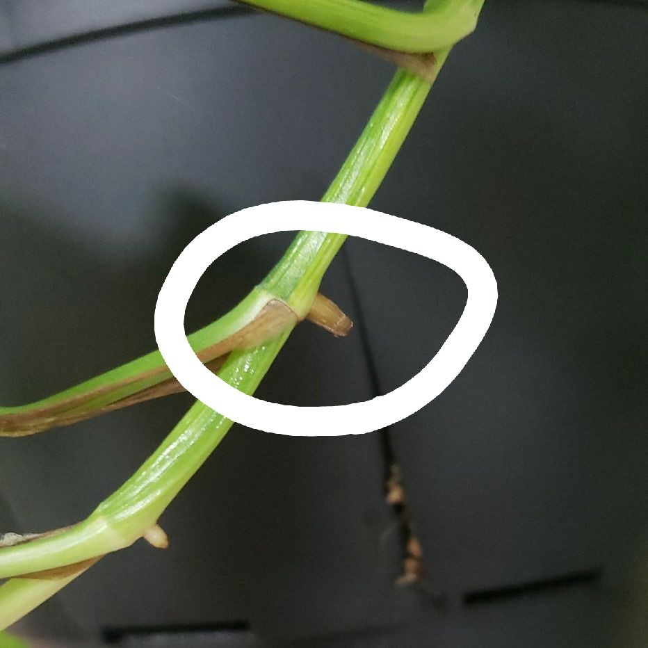 ポトス グローバルグリーン 切り枝
