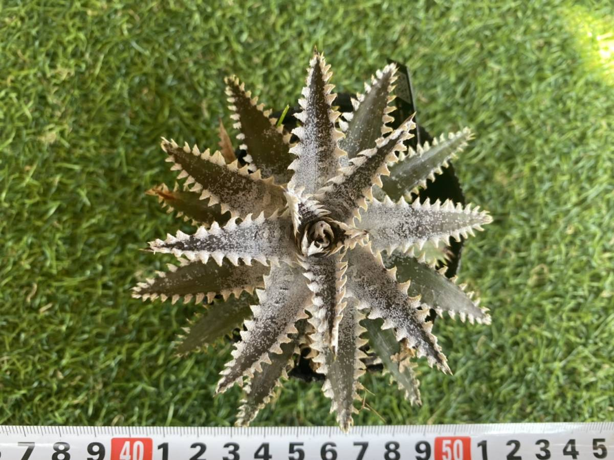 ★★★Dyckia 'Tooth and Nail' × 'A Winter's Frost' _画像5