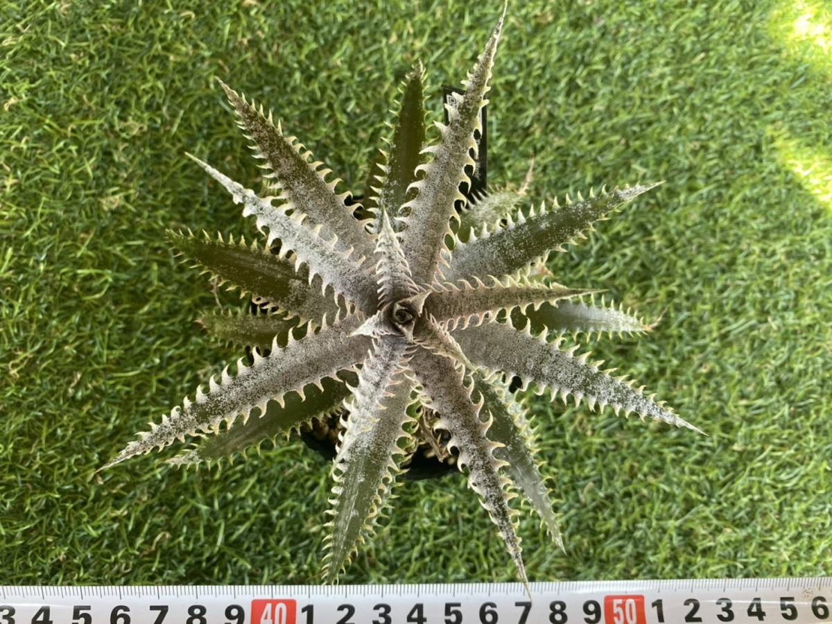 ★★★Dyckia 'Donna Marie' × 'A Winter's Frost'_画像7