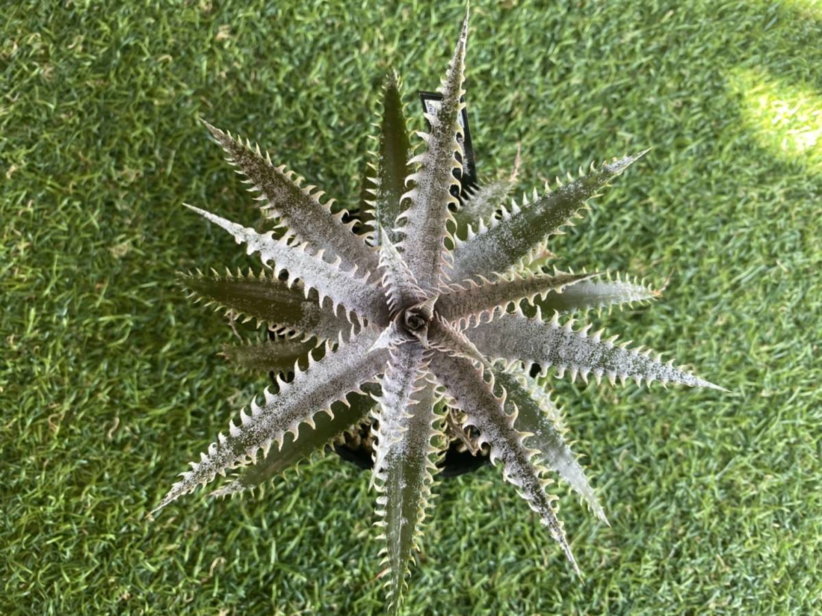 ★★★Dyckia 'Donna Marie' × 'A Winter's Frost'_画像4