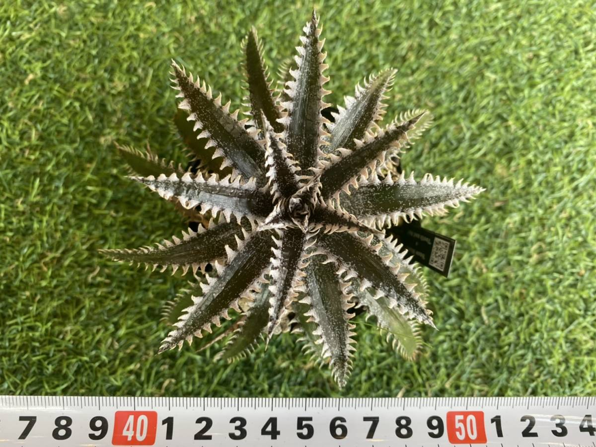 ★★★Dyckia 'Snowstorm' × 'Tooth and Nail'_画像7