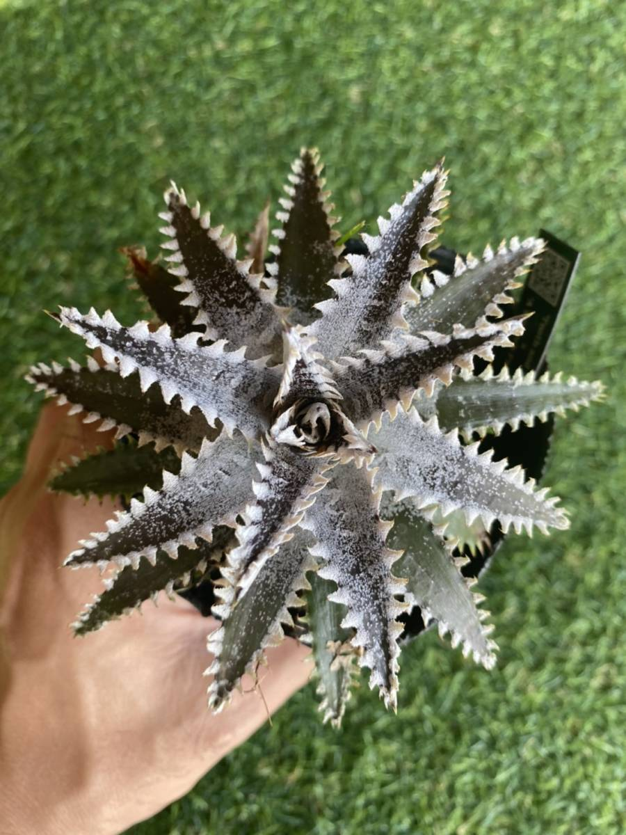 ★★★Dyckia 'Tooth and Nail' × 'A Winter's Frost' _画像2