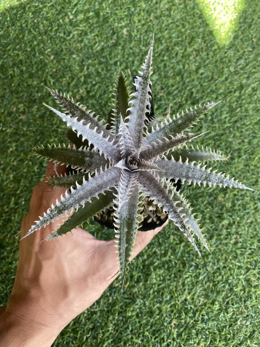 ★★★Dyckia 'Donna Marie' × 'A Winter's Frost'_画像2