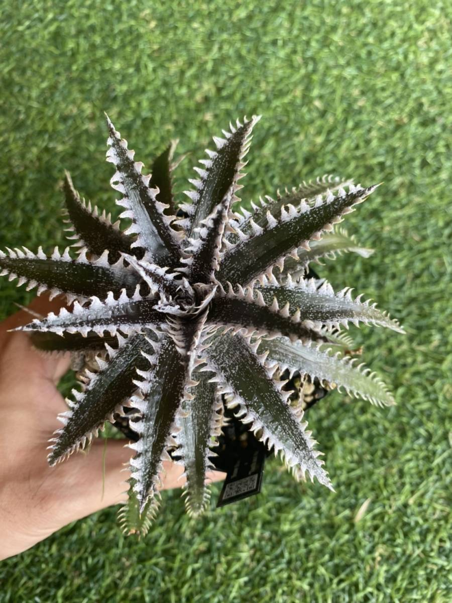 ★★★Dyckia 'Snowstorm' × 'Tooth and Nail'_画像3