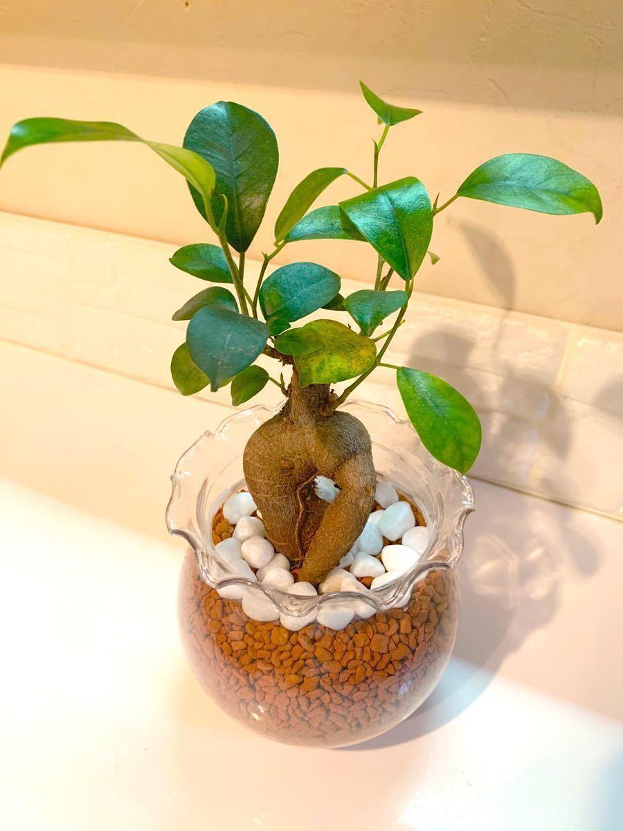 ガジュマル 観葉植物 インテリア 緑 癒し