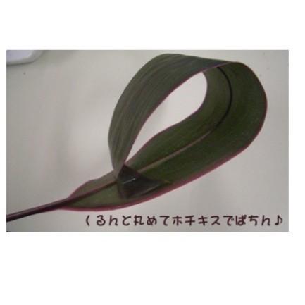 観葉植物 ドラセナ 緑と紫 根付き 18本