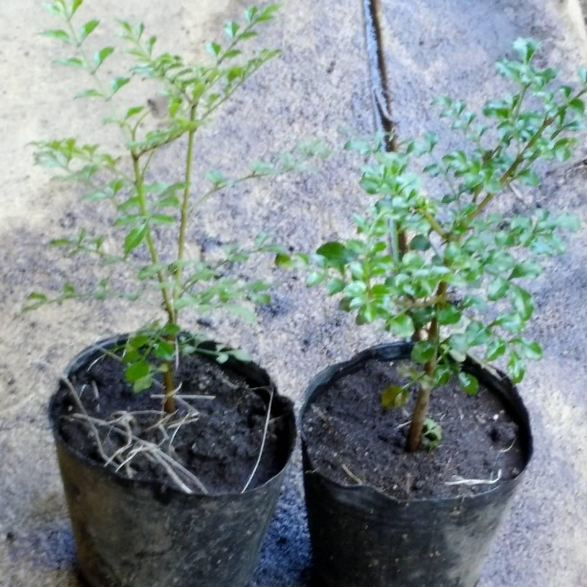 ◆育ててシンボルツリーに【シマトネリコ1本】15~20センチ程度 苗木 ポット 鉢植えガーデニング 抜き苗庭木・目隠し しまとねりこ _画像1
