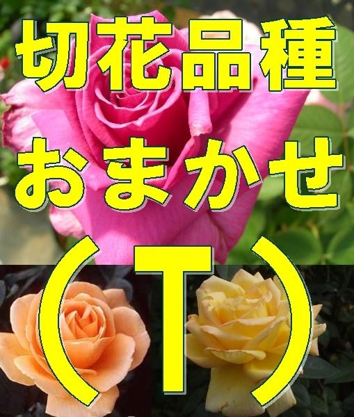 送料無料 (T)  切花品種  挿し木苗 ★おまかせ 4ポット_画像1