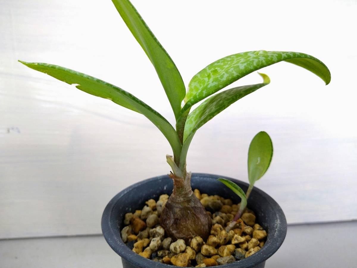 【多肉植物】【送料無料】シラー属 'ビオラセア グリーンタイプ' レア 【即決あり】_画像4