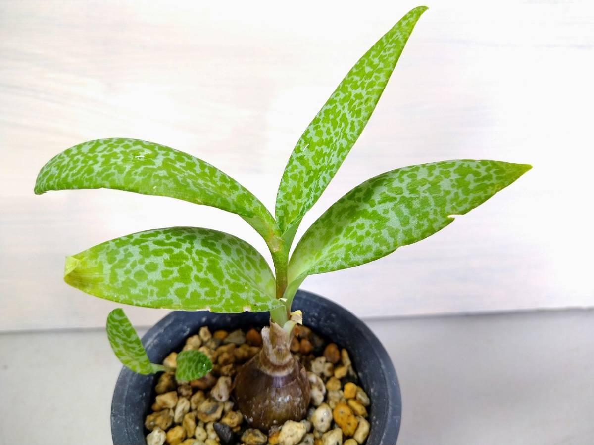 【多肉植物】【送料無料】シラー属 'ビオラセア グリーンタイプ' レア 【即決あり】_画像1