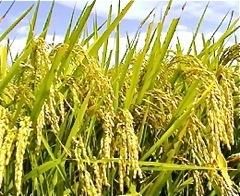 減農薬栽培カグラモチ 玄米24kg  令和2年産 福井県の農家より 新米穫れたて _画像2