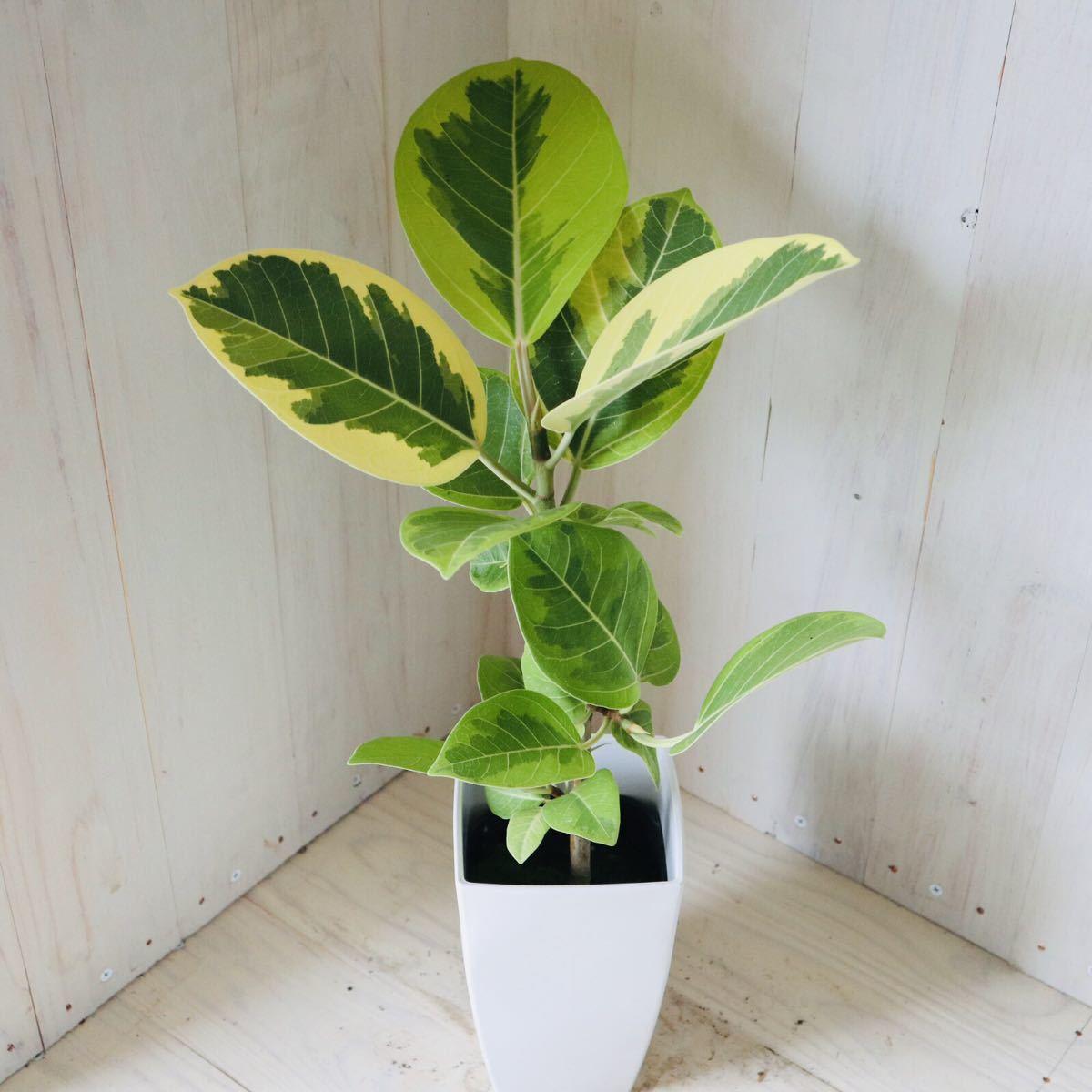 斑入り ゴムの木 フィカス アルテシーマ 4号ポット 観葉植物