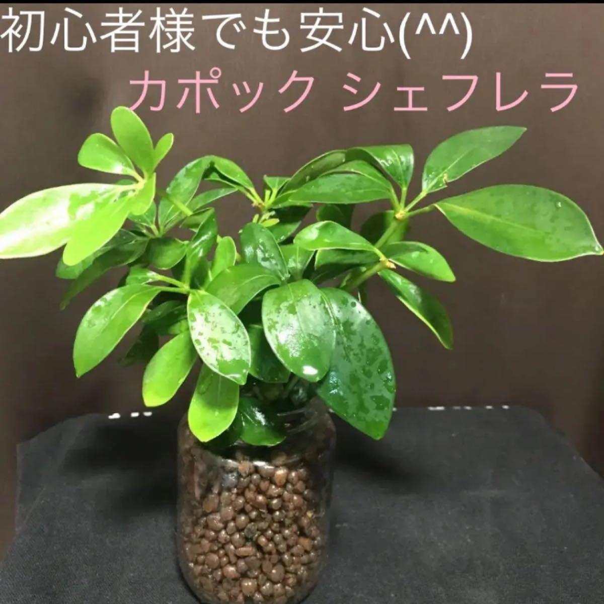 観葉植物の中でも上位人気(^^) カポック(シェフレラ) 抜き苗