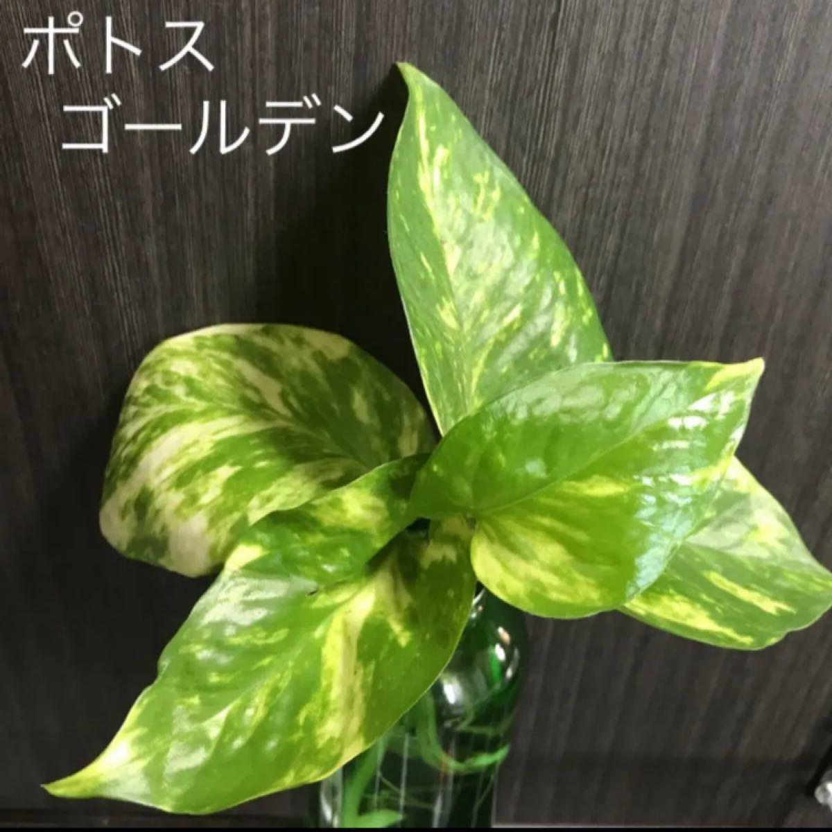 観葉植物 ゴールデンポトス