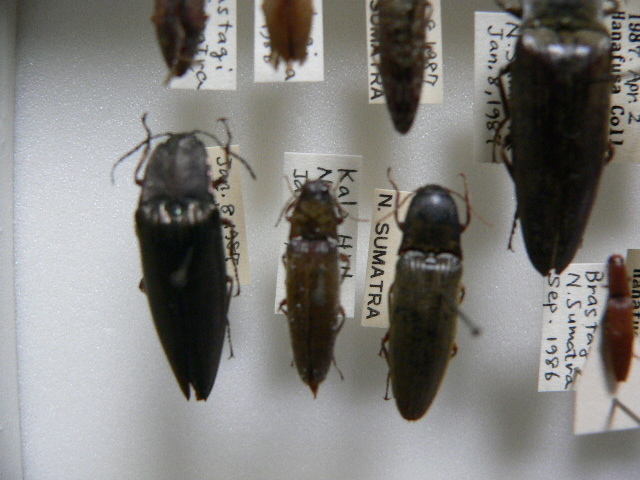 A1 コメツキムシ類11頭 北スマトラ島産 昆虫 甲虫_画像3