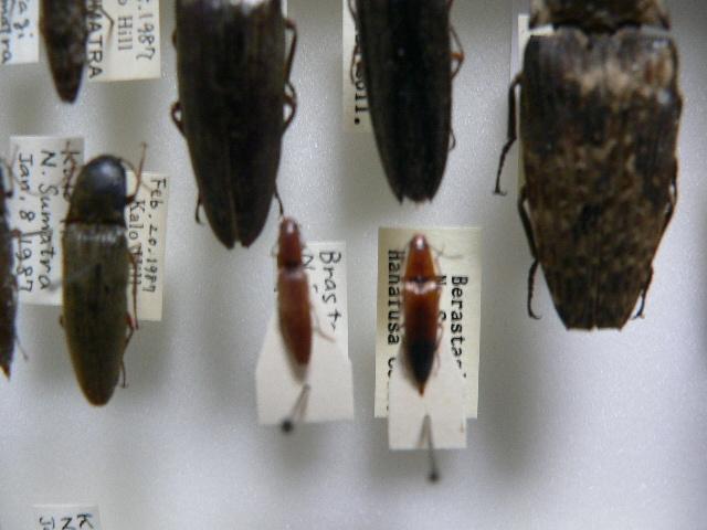 A1 コメツキムシ類11頭 北スマトラ島産 昆虫 甲虫_画像5