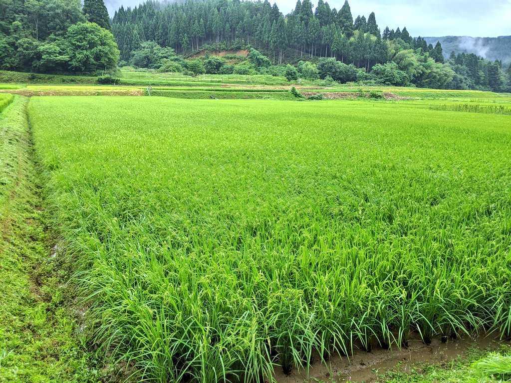 令和2年コシヒカリ 福井県産玄米10kg_画像6