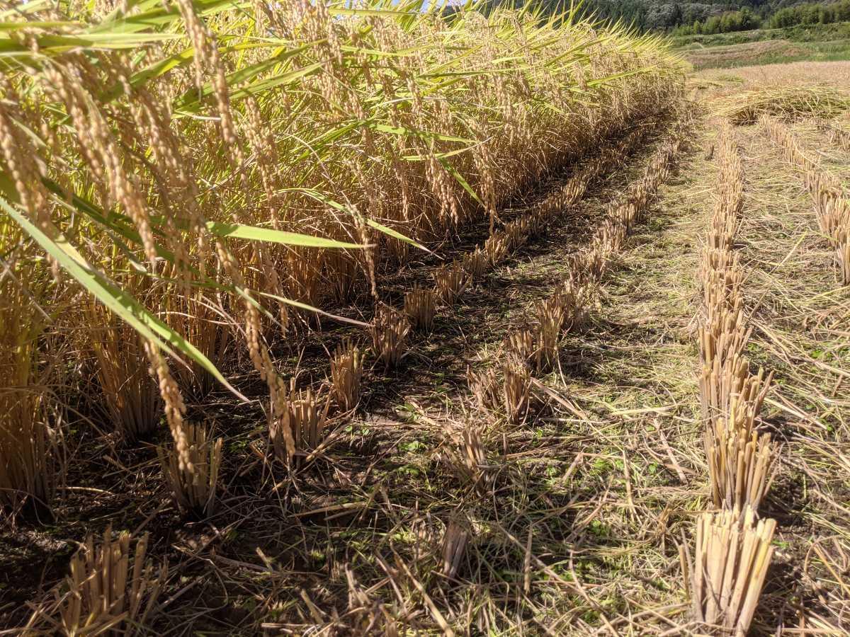 令和2年コシヒカリ 福井県産玄米10kg_画像4