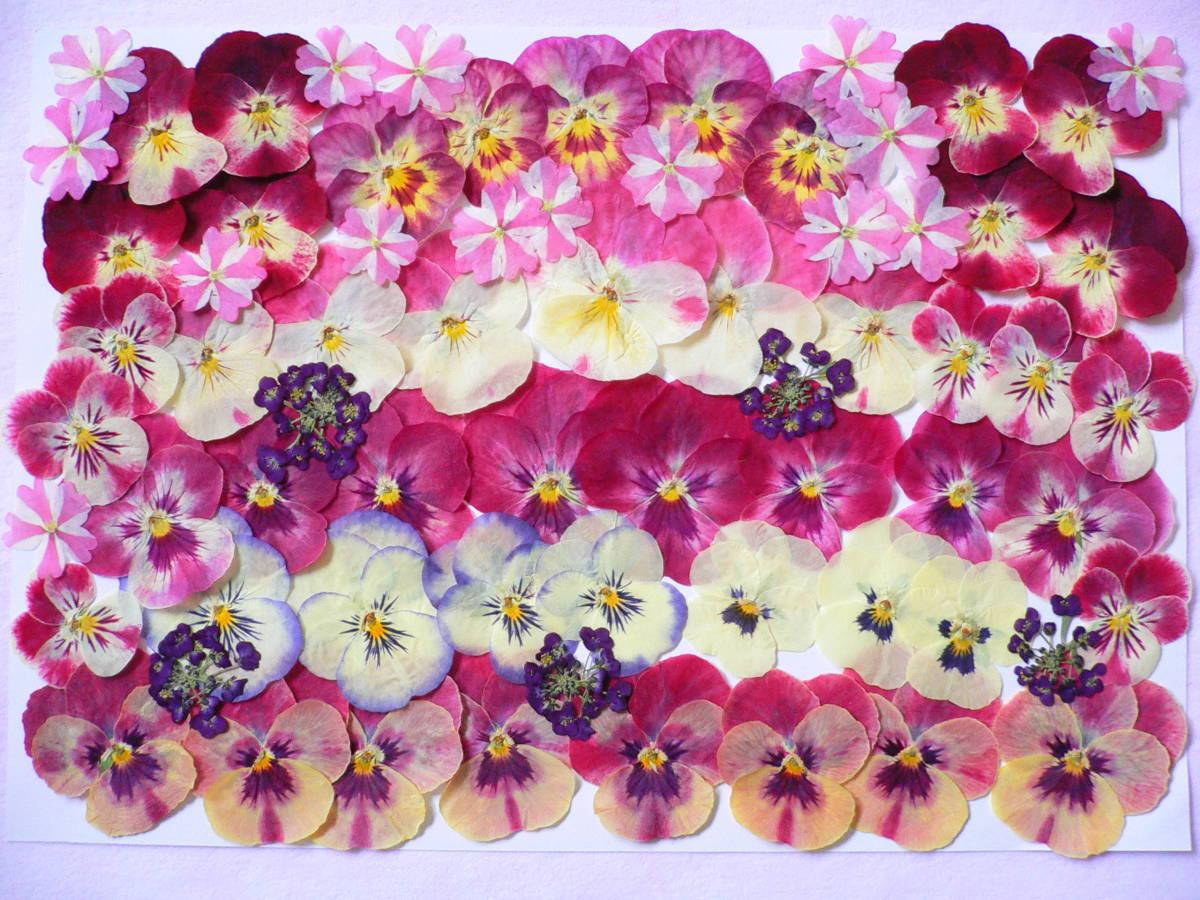 ♪ 押し花素材・ビオラ  (*^_^*) s15_画像1
