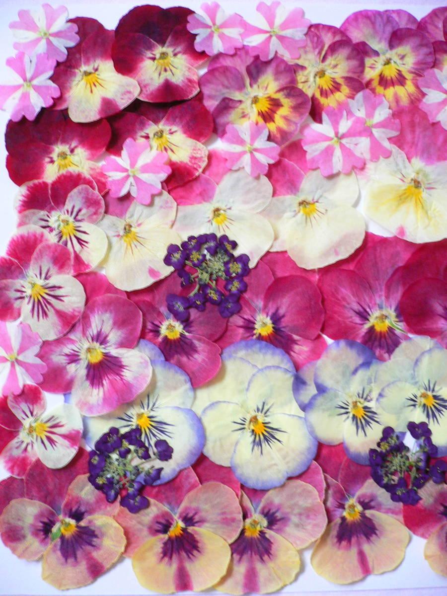 ♪ 押し花素材・ビオラ  (*^_^*) s15_画像2