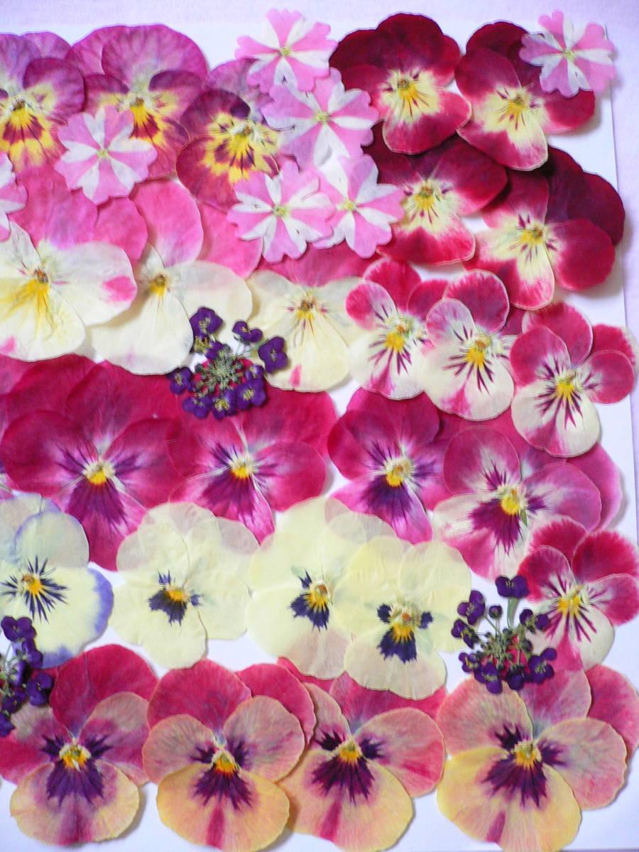 ♪ 押し花素材・ビオラ  (*^_^*) s15_画像3