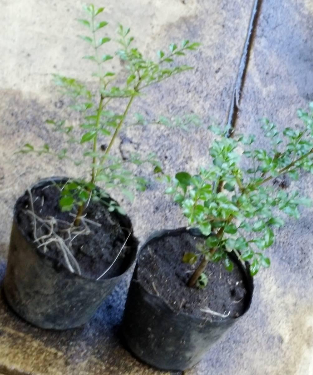 ◆育ててシンボルツリーに 苗【シマトネリコ】15~20センチ程度 鉢植え 苗木 ポット 庭木・目隠しにガーデニング しまとねりこ _画像2