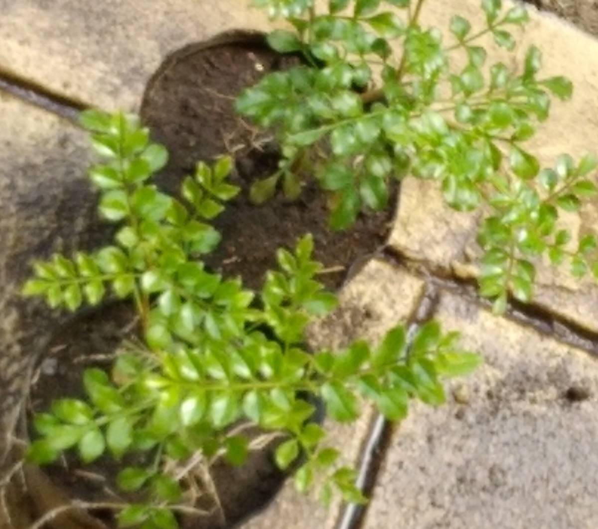 ◆育ててシンボルツリーに 苗【シマトネリコ】15~20センチ程度 鉢植え 苗木 ポット 庭木・目隠しにガーデニング しまとねりこ _画像3
