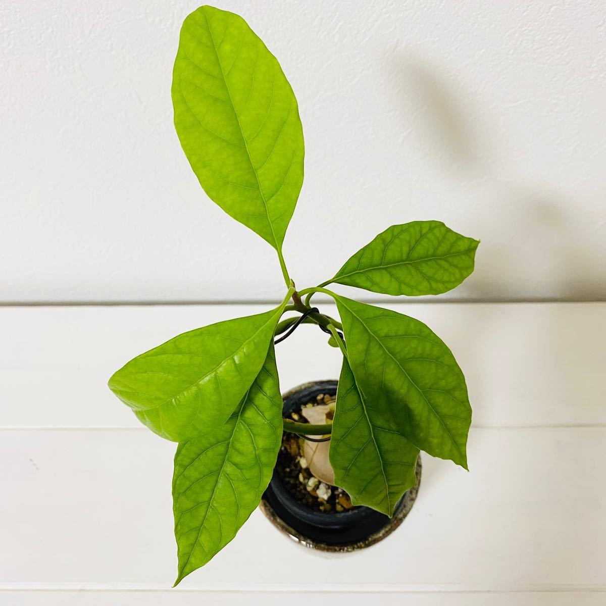 【観葉植物】アボカド・ハス 昇竜仕立て