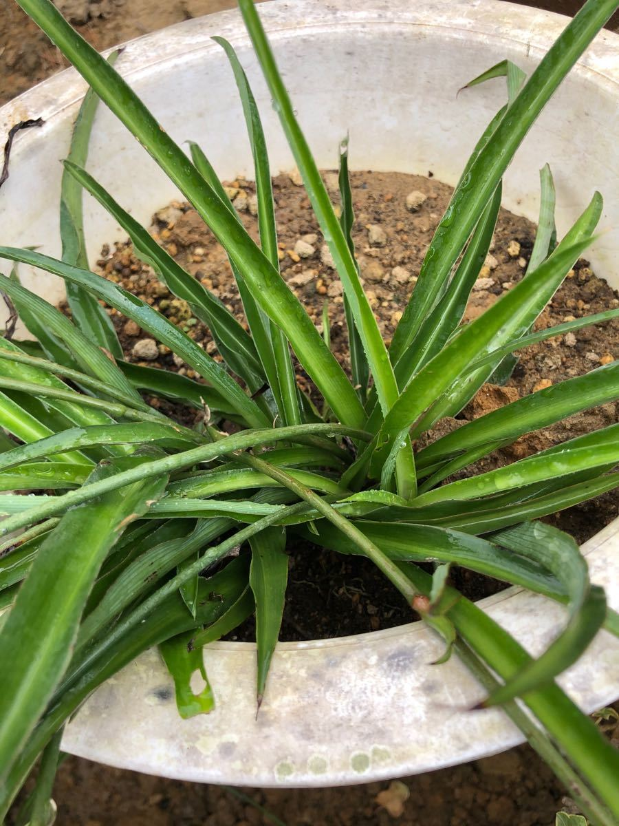 観葉植物 アオ オリヅルラン 青 子株 根っこ付き 抜き苗