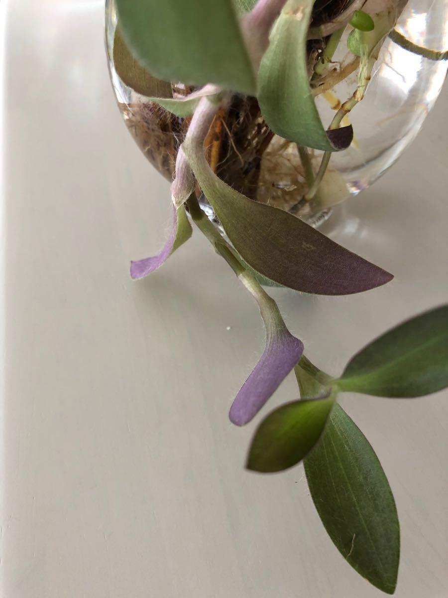 ムラサキオモト 珍しい斑なし 抜き苗 2本 根付き 水耕栽培も◎ 今だけセダム付