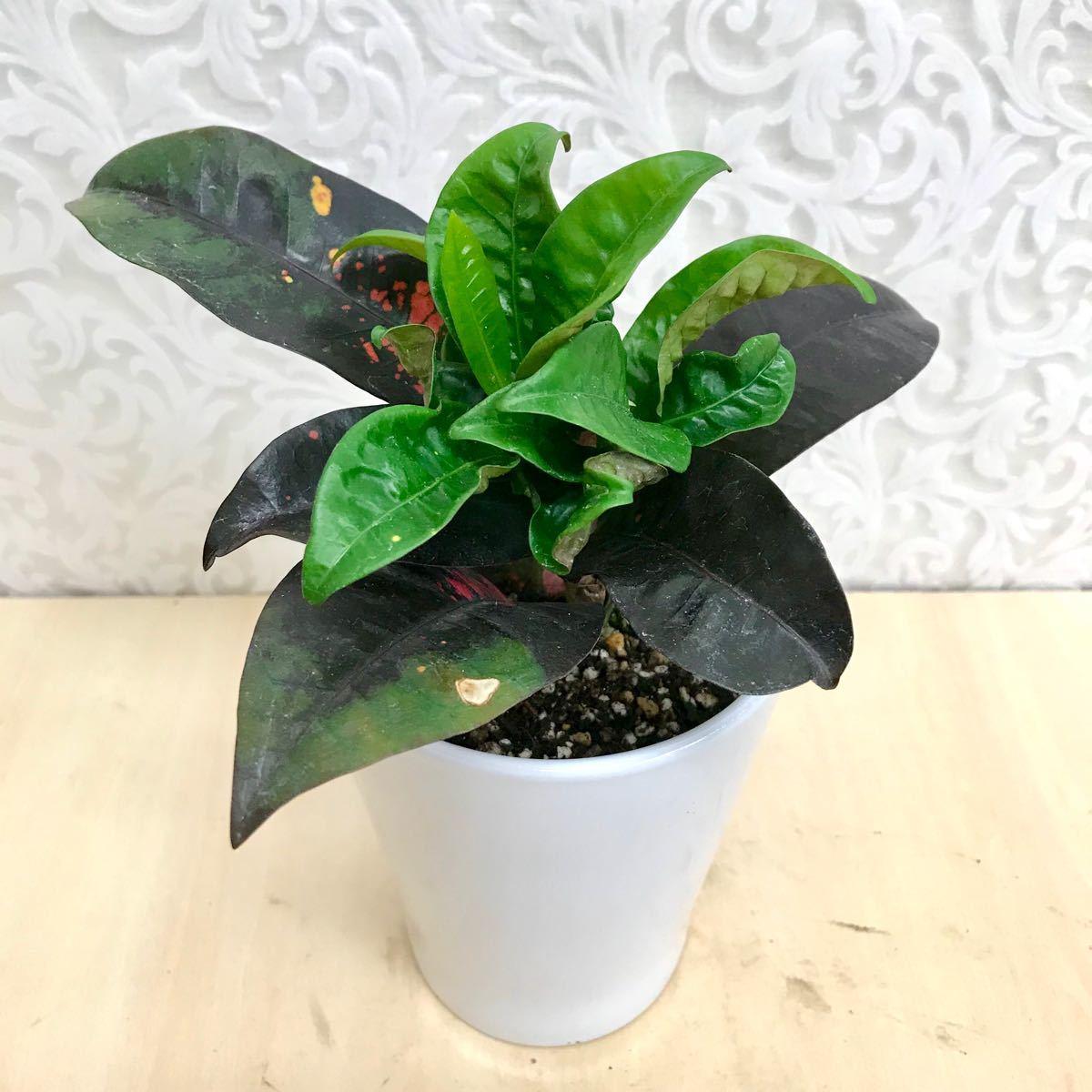 クロトン★観葉植物★3.5寸