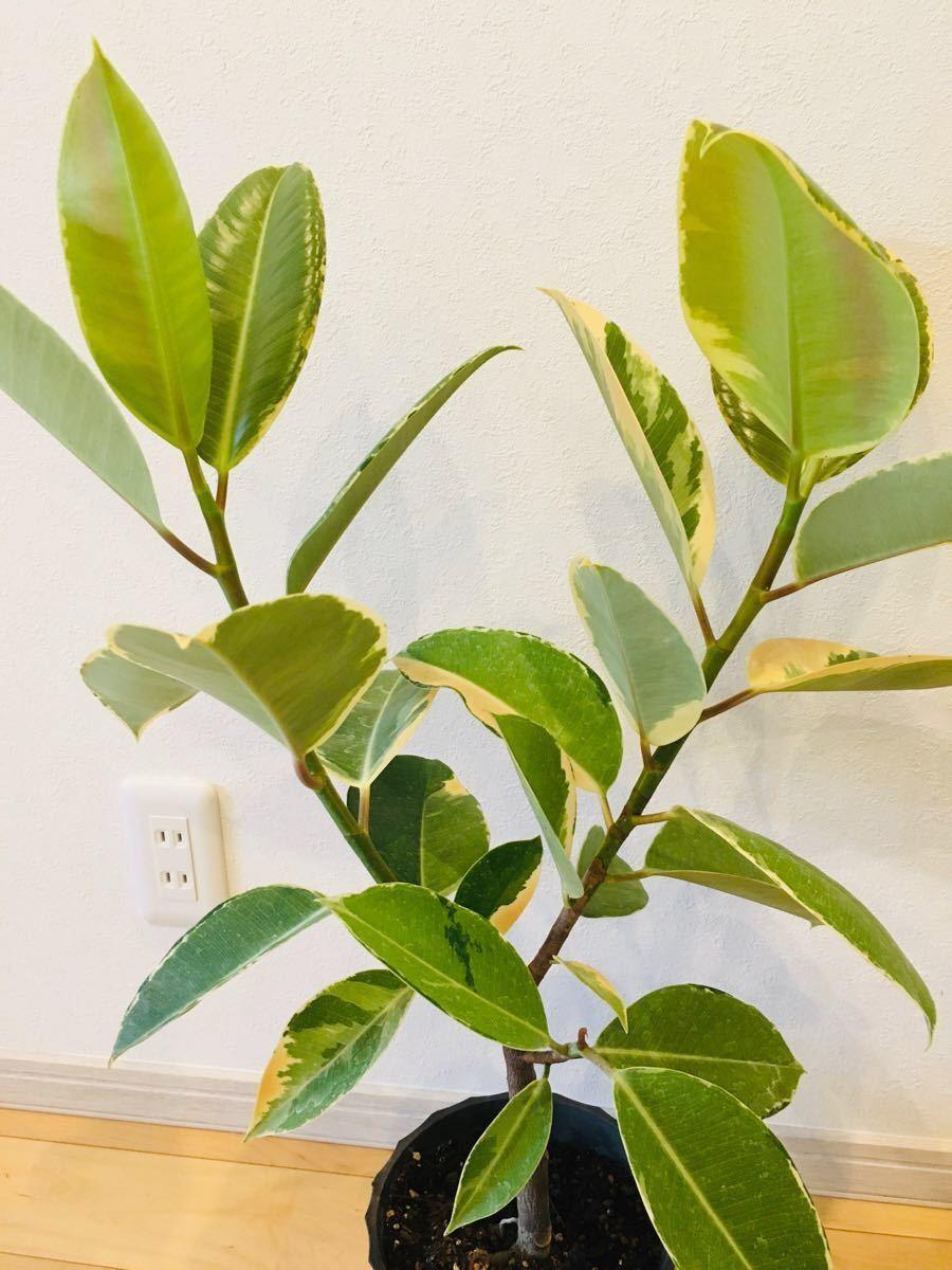 観葉植物 ゴムの木 斑入り ゴムノキ
