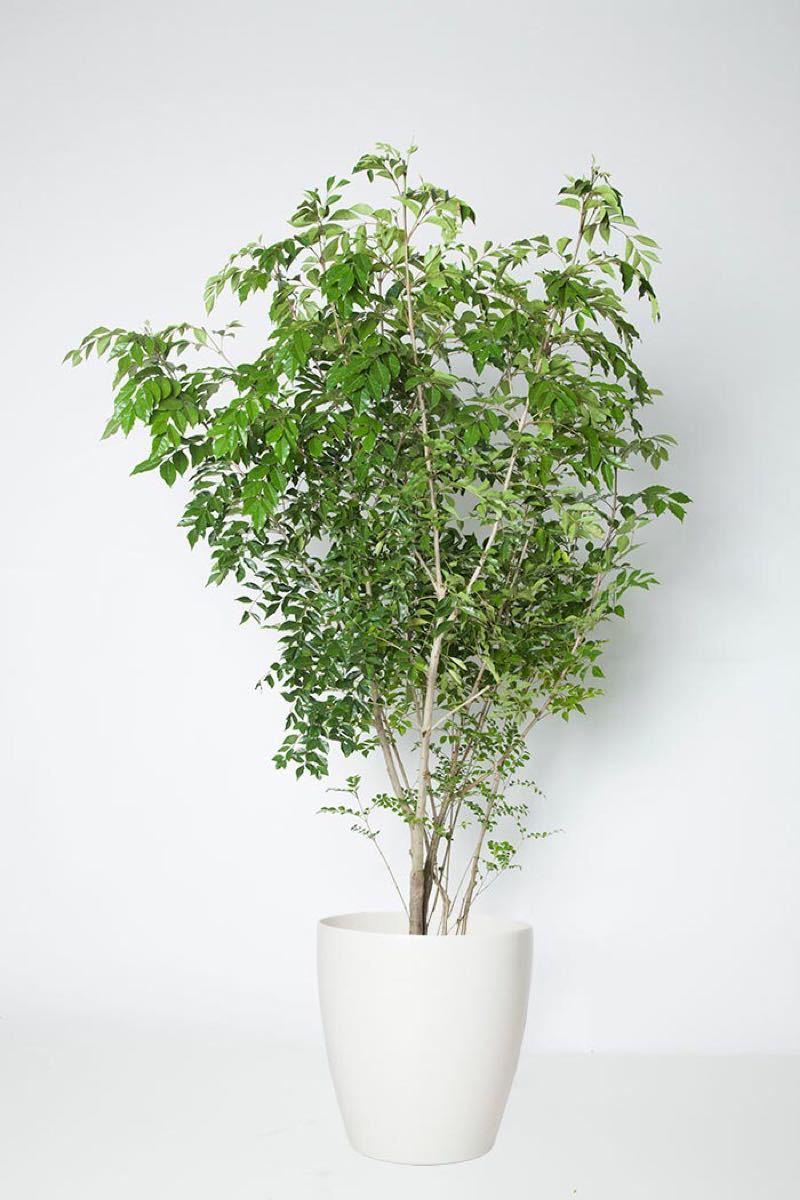 シマトネリコ苗   6鉢