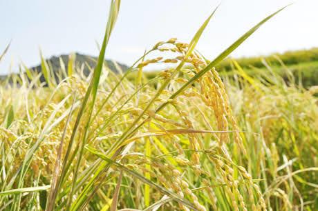 令和2年産 秋の詩 玄米30㎏ 低農薬・有機肥料栽培です。 希望があれば精米もします。_画像4